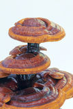 Glossy ganoderma Royalty Free Stock Images