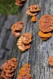 Glossy ganoderma( Ganoderma lucidum) Stock Photo