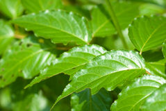 Glossy green leaves Royalty Free Stock Image