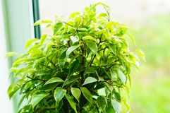 Glossy green leaves of a ficus of Benjamin Stock Photos