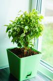 Glossy green leaves of a ficus of Benjamin Stock Photo
