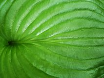 Glossy green silk leaf Royalty Free Stock Photo
