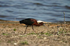 Glossy ibis. (Plegadis falcinellus), Jamaica Bay Wildlife Refuge, Queens, New York royalty free stock photography