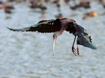 Glossy Ibis Royalty Free Stock Images