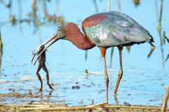 Glossy Ibis. Eating a frog Stock Image