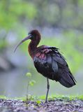 Glossy ibis. Royalty Free Stock Photo