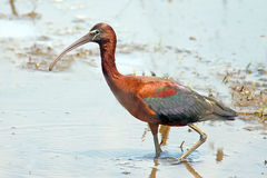 Glossy Ibis. Standing in the marsh Stock Photos