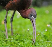 Glossy ibis. Stock Images