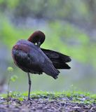 Glossy ibis. Stock Photos