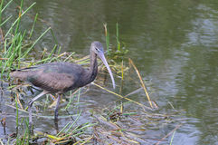 Glossy Ibis Royalty Free Stock Image