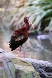 Glossy Ibis Royalty Free Stock Photos