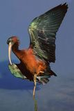 Glossy Ibis. (Plegadis falcinellus) basking in the sun with outstretched wings, South Africa royalty free stock photography