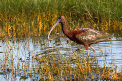 Glossy Ibis Stock Photography