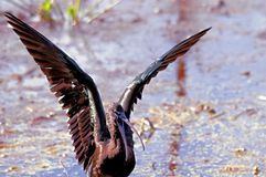 Glossy Ibis. Bathing in Wakodahatchee Wetlands in Delray Beach, Florida Royalty Free Stock Photo