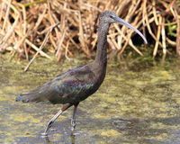 Glossy Ibis Bird Royalty Free Stock Photography
