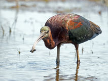 Glossy Ibis with bug. Glossy Ibis standing in the marsh with bug in mouth Stock Photo