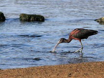 Glossy Ibis catching an eel Royalty Free Stock Image