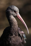 Glossy Ibis closeup Stock Image