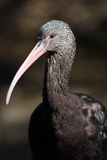 Glossy Ibis closeup Royalty Free Stock Photo