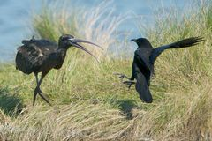 Glossy Ibis confronts Fish Crow Royalty Free Stock Photo