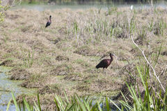Glossy ibis Royalty Free Stock Photos
