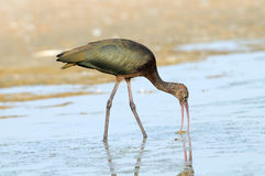 Glossy Ibis feeding at lake shallow water Stock Photos