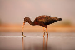 The glossy ibis  fishing in a shallow lagoon with a plant in the beak. The glossy ibis Plegadis falcinellus fishing in a shallow lagoon with a plant in the beak Stock Images