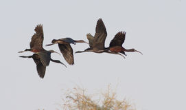 Glossy Ibis in flight Stock Image