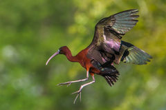 Glossy Ibis In Flight Stock Photos
