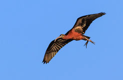 Glossy ibis in flight Royalty Free Stock Photo