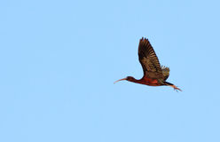Glossy ibis in flight Stock Photography