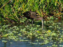 Glossy Ibis Foraging Royalty Free Stock Photo
