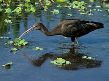 Glossy Ibis Foraging Royalty Free Stock Photography