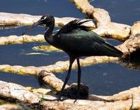 Glossy Ibis juvenile (Plegadis falcinellus) Royalty Free Stock Images