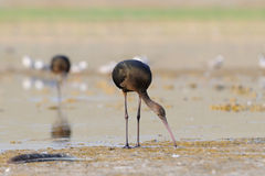 Glossy Ibis lake shore Royalty Free Stock Images