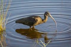 Glossy Ibis - Merritt Island, Florida Royalty Free Stock Image