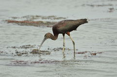 Glossy Ibis pecking through water. Glossy Ibis pecks through the water in search of food Stock Photography