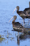 Glossy ibis, plegadis falcinellus. Looking Royalty Free Stock Photography