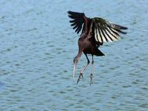 Glossy Ibis (Plegadis Falcinellus) Stock Photo