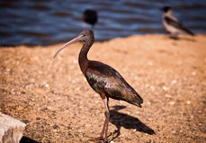 Glossy Ibis (Plegadis falcinellus) . Royalty Free Stock Photography