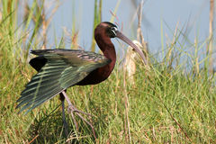 Glossy Ibis, Plegadis falcinellus Royalty Free Stock Photo