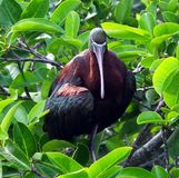 Glossy Ibis (Plegadis falcinellus) Stock Photo