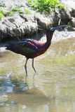 Glossy Ibis or Plegadis falcinellus. Drinking water in sunshine at the waterside Stock Images