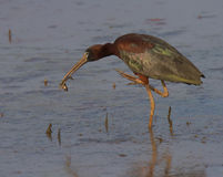 Glossy Ibis Stock Images