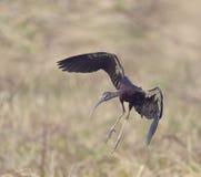 Glossy Ibis (plegadis falcinellus) Royalty Free Stock Photos