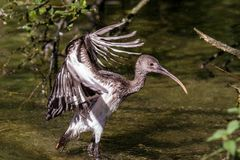 Glossy ibis, Plegadis falcinellus in a german zoo royalty free stock photography