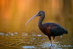 Glossy ibis plegadis falcinellus. On a beautiful background Royalty Free Stock Image