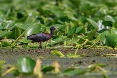 Glossy Ibis plegadis falcinellus. In Danube Delta, Romania Royalty Free Stock Image