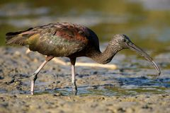 Glossy ibis plegadis falcinellus. In mud Stock Photography