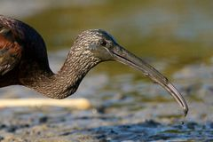 Glossy ibis plegadis falcinellus. In mud Royalty Free Stock Images